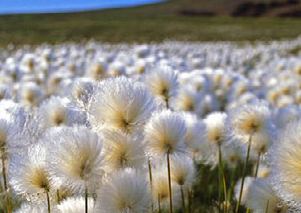 Plants adaptations to the Arctic climate